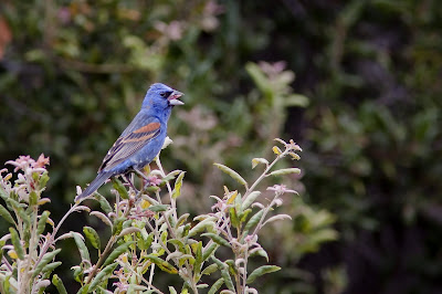 Blue Grosbeak, calling