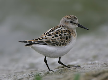 Little Stint by Dave Hutton