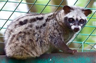 flora fauna Indonesia NASIB MUSANG PANDAN LUWAK