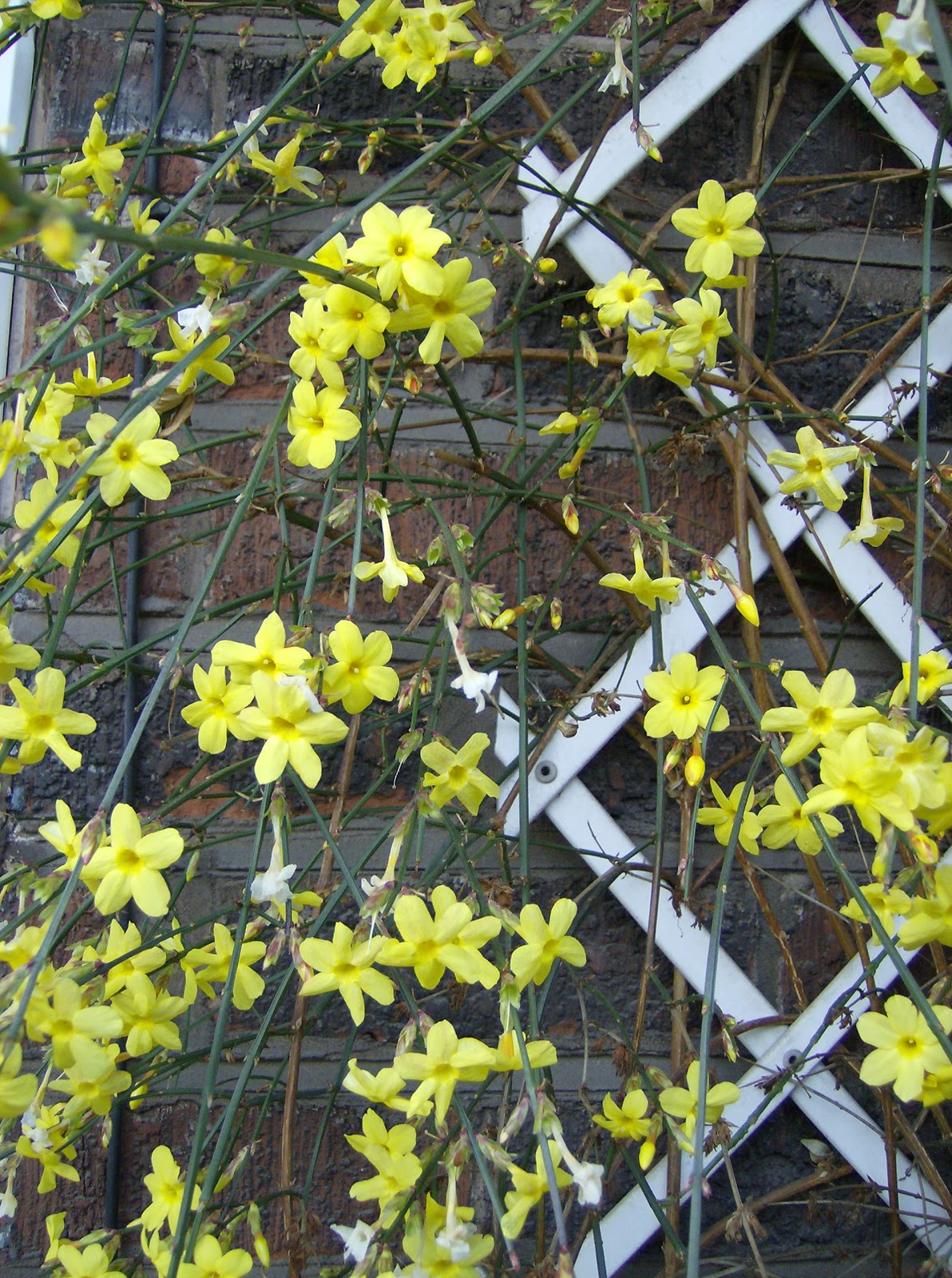 love my garden winter flowering jasmine. Black Bedroom Furniture Sets. Home Design Ideas