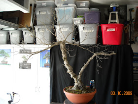 Collected Vine Maple The Bonsai Of Jason