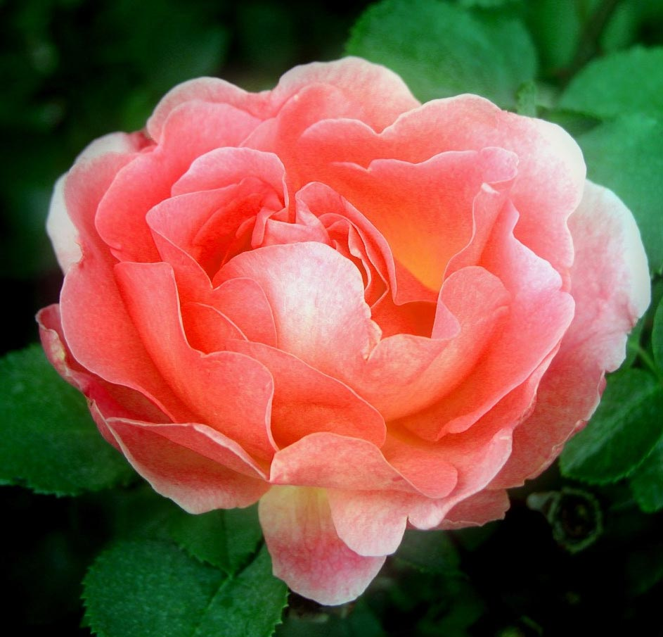 Flowers Coral Drift Rose