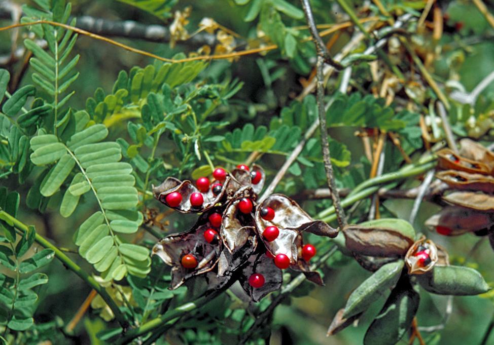 Medicinal Plant Abrus Precatorius