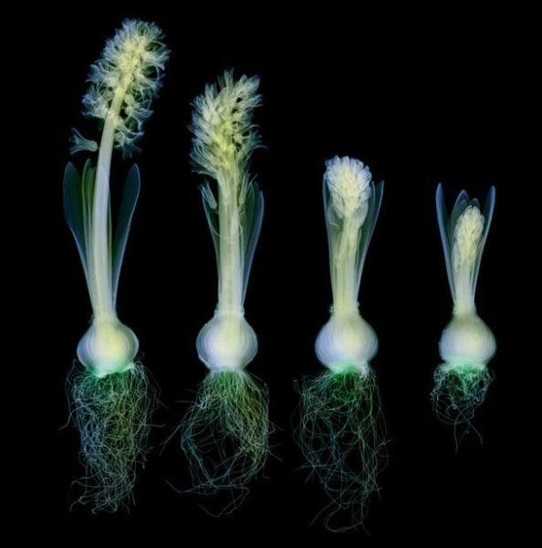 Flowers in X-Ray: 19