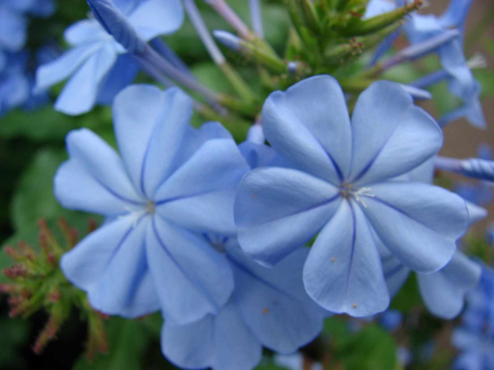 Tropical Blue Flowers