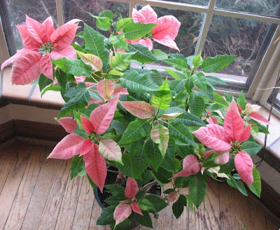 Poinsecja to nie jest roślina jednorazowa - jak dbać o gwiazdę betlejemską po Świętach?