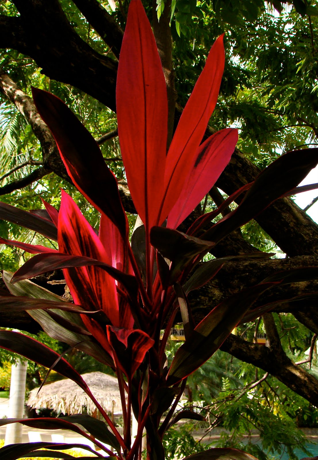 Tamarindo Costa Rica Daily Photo Red Leaves