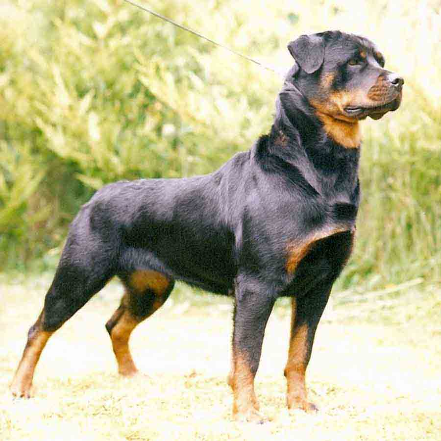 Find rottweiler puppies for sale in Victoria Australia