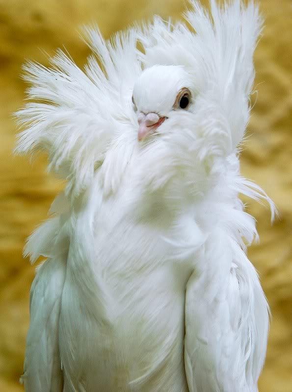 jacobin pigeon -#main