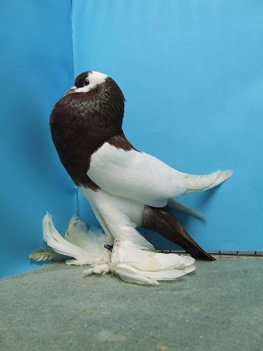 Reversewing Pouter Pigeon Pictures ~ ENCYCLOPEDIA OF ...