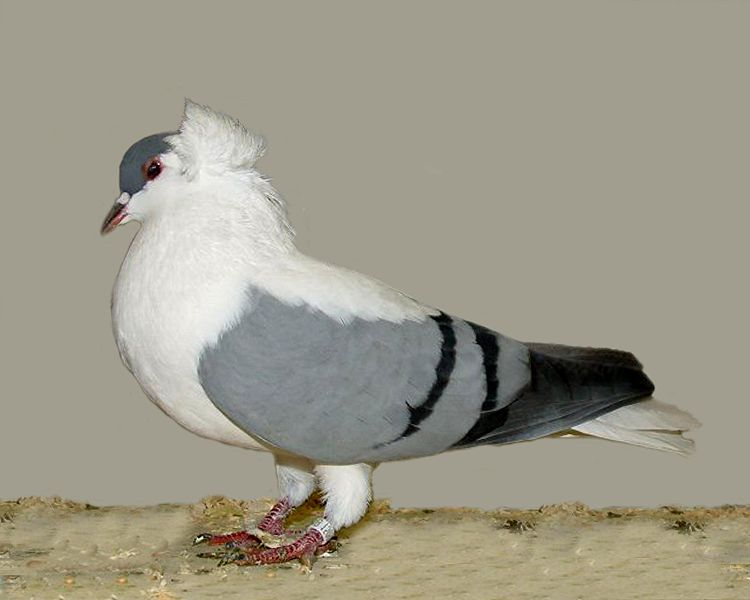Indian Fantail Pigeon Food