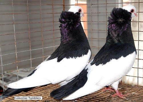 Doves For Sale >> Komorner Tumbler Pigeon Pictures | Felegyhazer Tumbler Pigeon Pictures ~ ENCYCLOPEDIA OF PIGEON ...