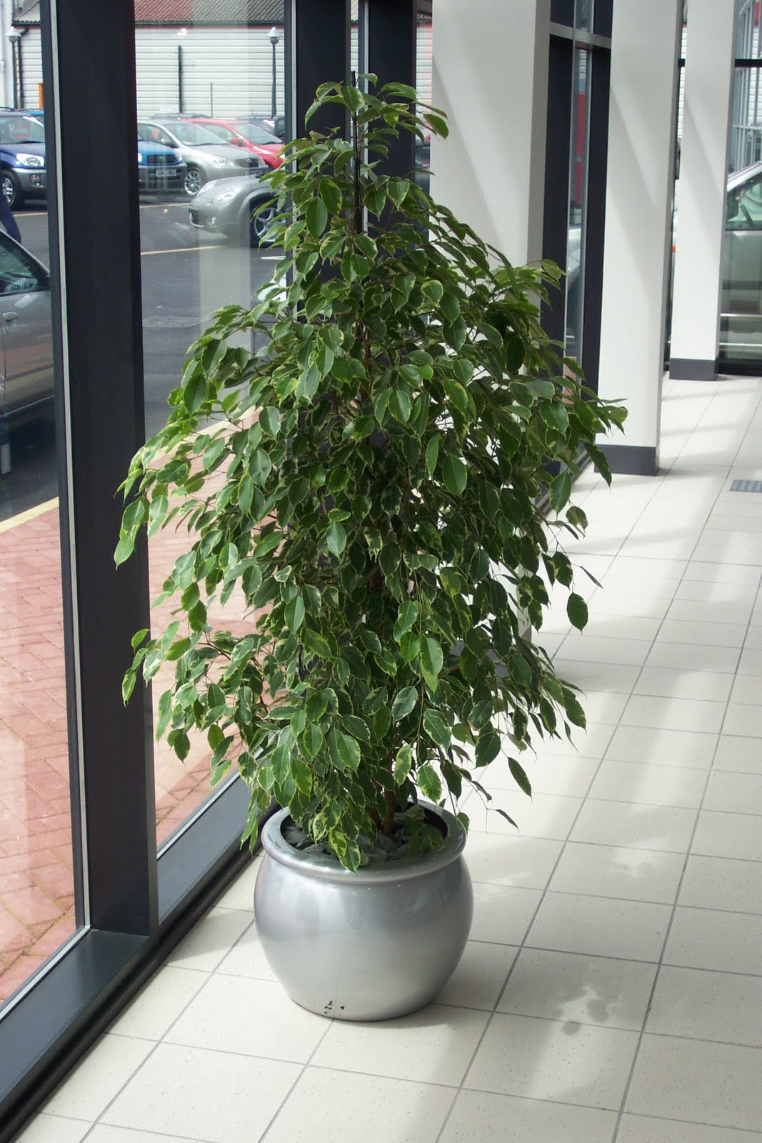Stewarts office plants ficus benjamina - Interior plant maintenance contract ...