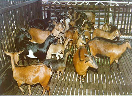 Budidaya kambing, Bag III – Pemberian pakan pada ternak