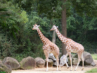 Giraffes feedings