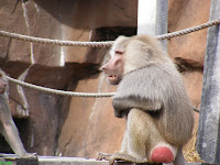 baboon badminton at Riverbanks Zoo