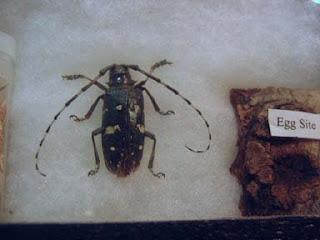 Asian longhorn beetle organism indigenous