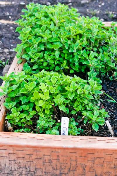 Friday Night Herb Garden Photos and Recipes Using Fresh ...