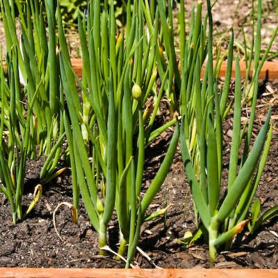 Green onions in garden