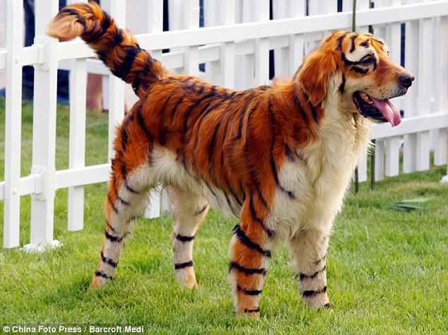 """Perros """"Exoticos"""" perro-tigre y perro-panda"""
