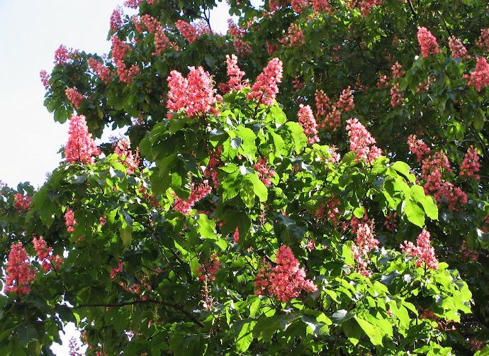 Flores y Palabras: Castaño rojo