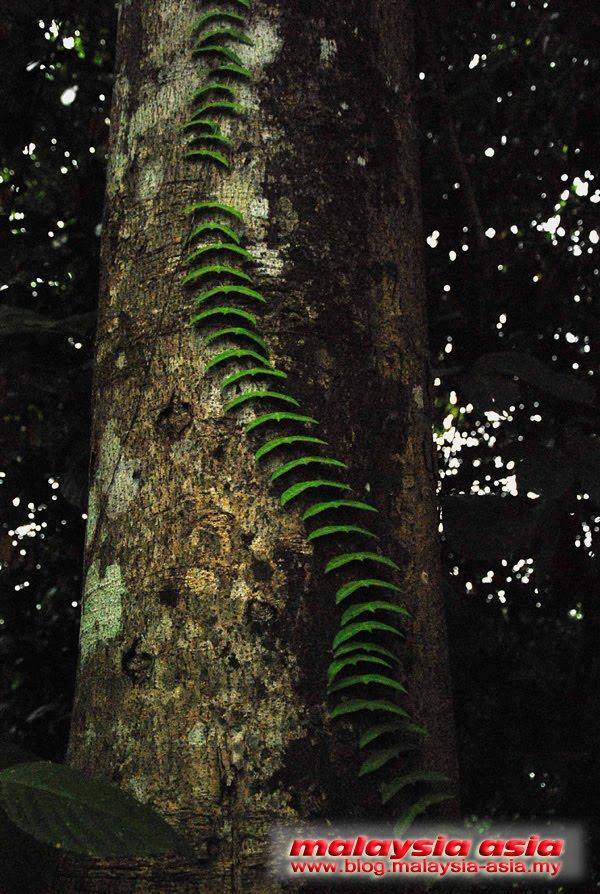 Sabah Rainforest Discovery Centre Flora