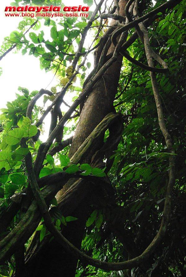 Sabah Jungle Creepers
