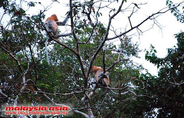photos of proboscis monkeys at kinabatangan