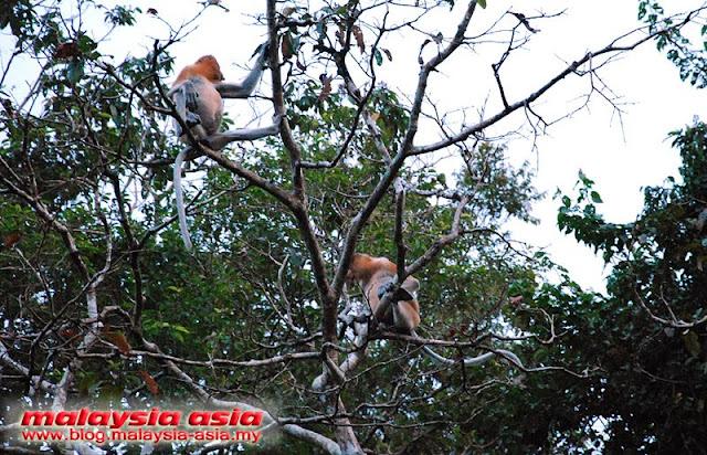 photos of proboscis monkeys at kinabatangan