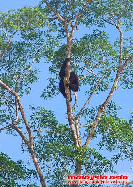 Kinabatangan River Wild Orangutan