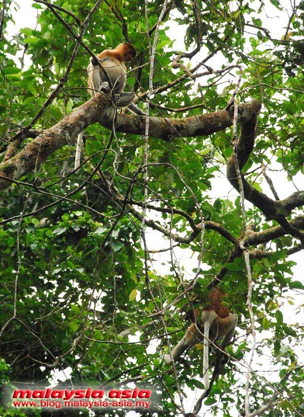 Sabah Monyet Belanda