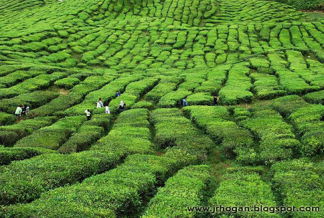 Tea Plantation at Bharat