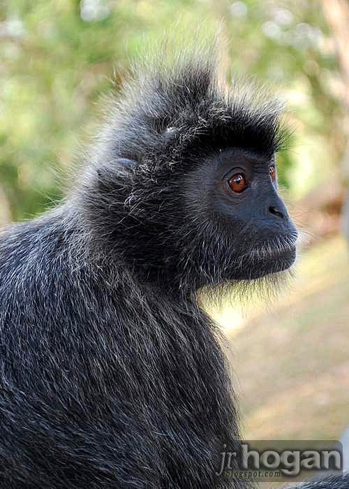 Malaysia Silver Leaf Monkey Photo