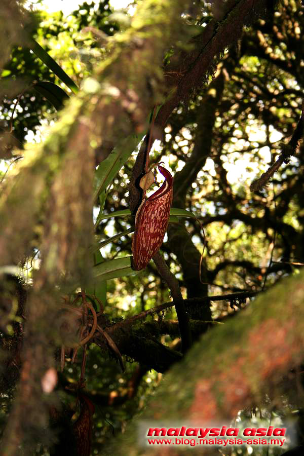 Cameron Highlands Pitcher Plant