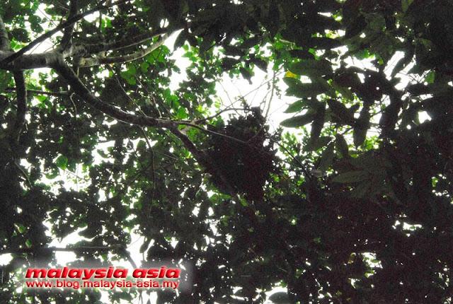 Nest of Orangutan in Sabah