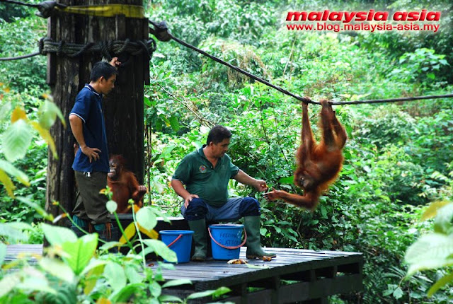 Sepilok Orangutan Rehabilitation Center Feeding time