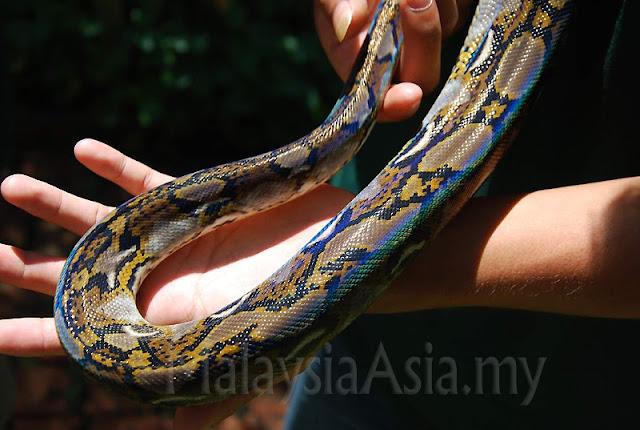 Sabah Python