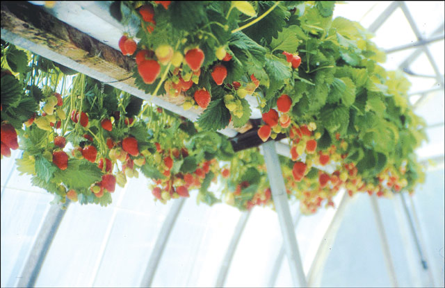 The Pure Gardener Inc Grow Your Own Strawberries