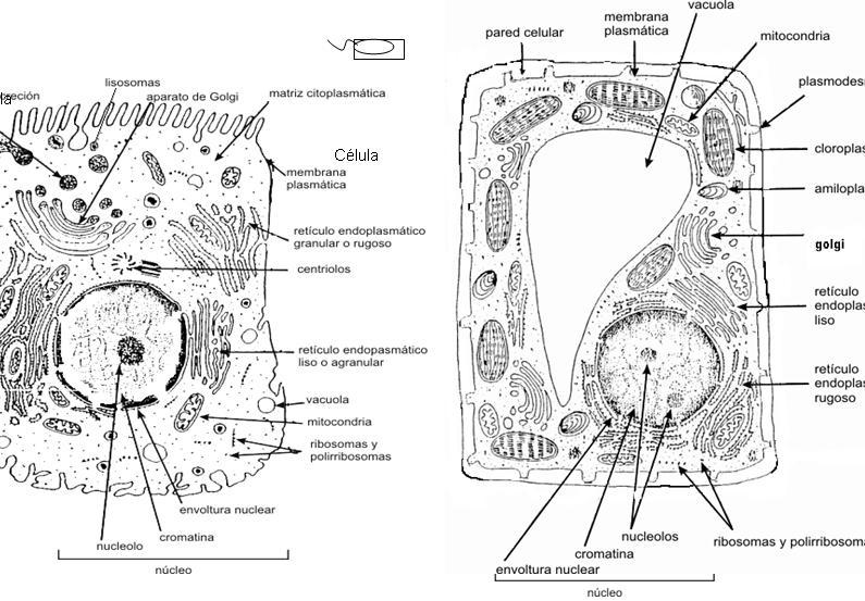 Dibujo De Celula Animal Para Colorear: Las Celulas Animal Y Vegetal Para Colorear