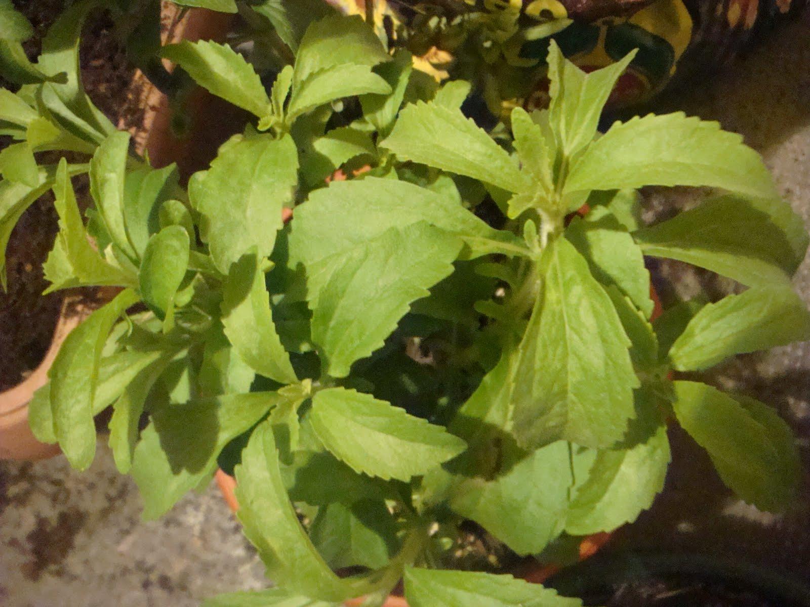 Tutti pazzi per le piante stevia rebaudiana la dolce pianta for Stevia pianta