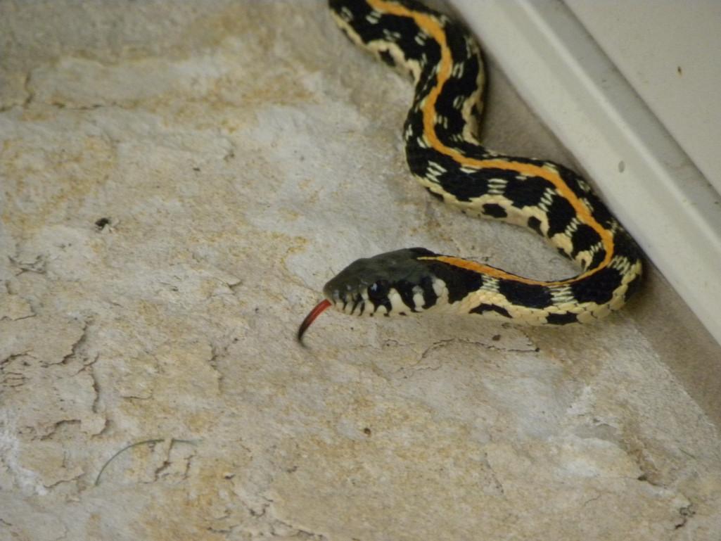 Diane's Texas Garden: Lovely Garter Snake!
