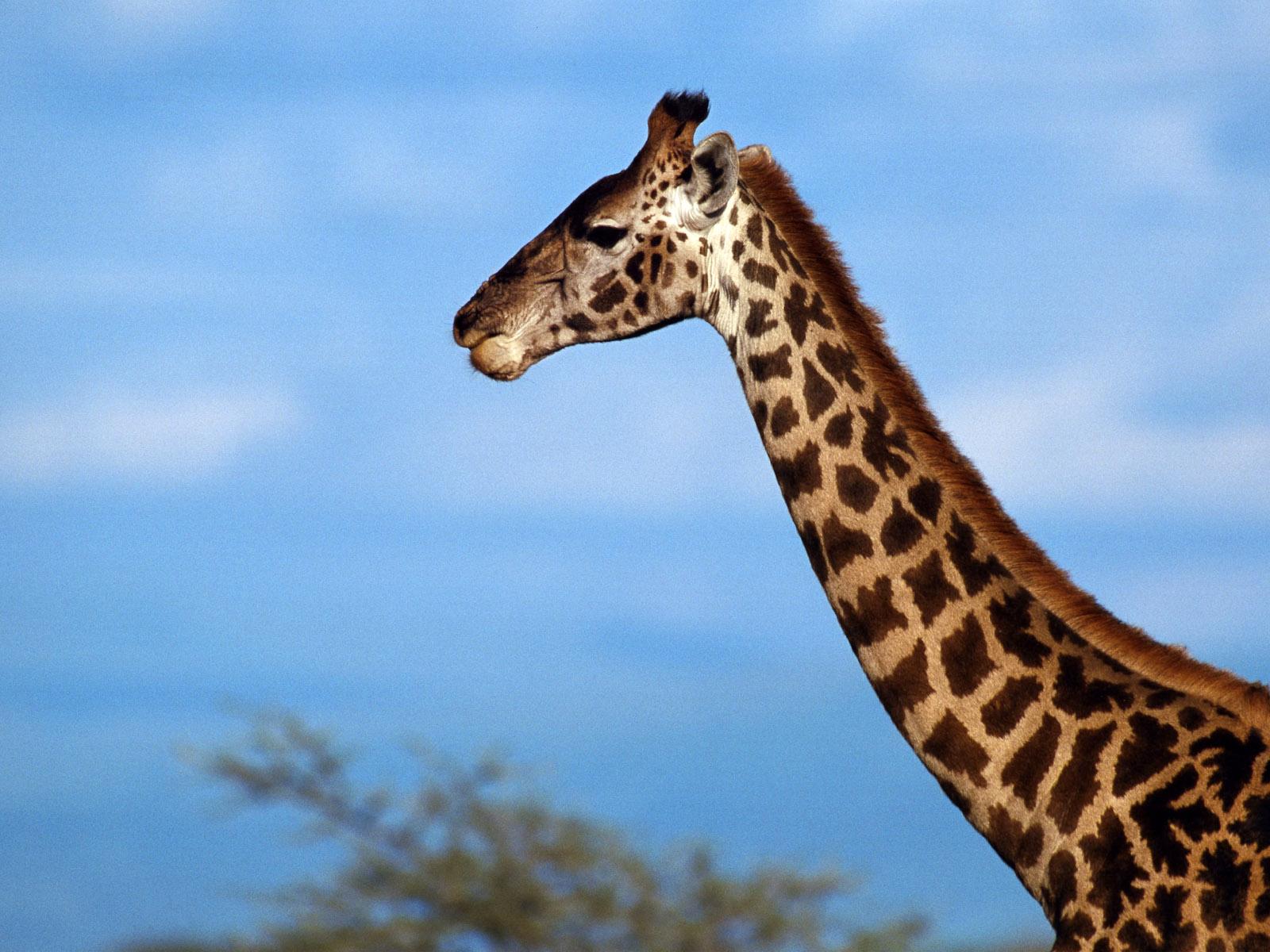 Best Wallpapers: Giraffe Wallpapers
