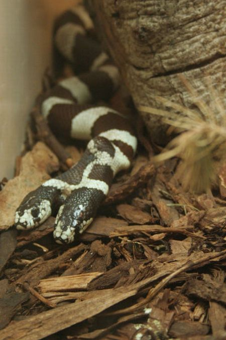 world travel: Two-Headed Snakes in the world pictures