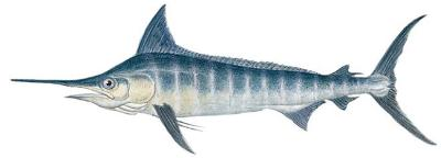 Striped Marlin (Tetrapturus audax)