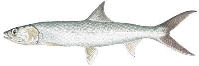 Ladyfish (Elops saurus)