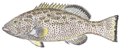 Yellowfin Grouper (Mycteroperca venenosa)