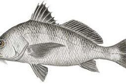 Black Drum (Pogonias cromis)