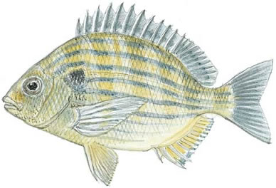 Sea Bream (Archosargus rhomboidalis)