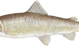 Mountain Whitefish (Prosopium williamsoni)
