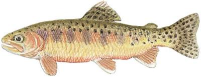 Golden Trout (Oncorhynchus aguabonita)
